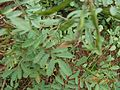 Kozhinjil with seed.jpg