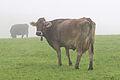 Kuh auf Allgäuer Weide.jpg