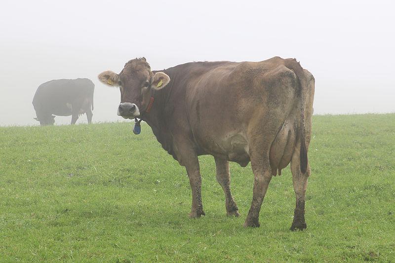 File:Kuh auf Allgäuer Weide.jpg