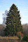 Spruce in Estonia