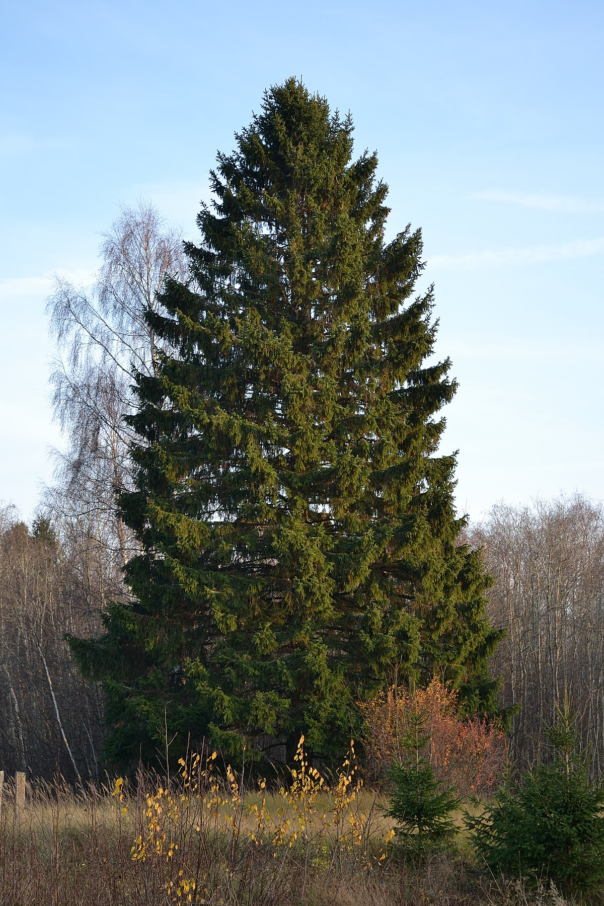 Norway spruce forms forests of the northern hemisphere 34