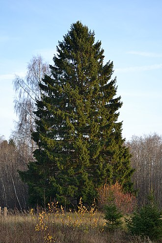 Picea abies - Image: Kuusk Keila Paldiski rdt ääres