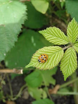 Ladybug (Coccinellidae sp.) on Rubus armeniacus
