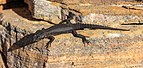 Lagarto (Cordylus niger), cabo de Buena Esparanza, Sudáfrica, 2018-07-23, DD 107.jpg