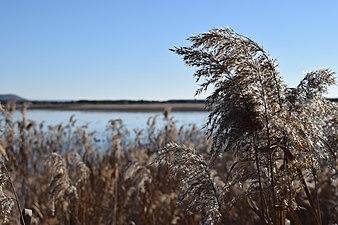 Laguna de Pitillas con júncos.jpg