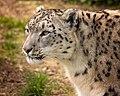 Laila Snow Leopard (215585887).jpeg