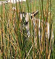 Lamb hiding in the rushes. - geograph.org.uk - 1279285.jpg