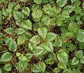 Lamium galeobdolon (argentatum) 06 ies