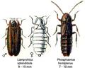 LampyridaeSpec.png