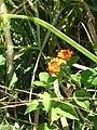 Lantana insect.jpg