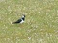 Lapwing on Croftland - geograph.org.uk - 448730.jpg