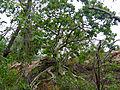 Large-leaved Rock Fig (Ficus abutilifolia) (11925925343).jpg