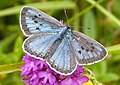 Large Blue. Maculinea arion. female on Pyramidal Orchid - Flickr - gailhampshire.jpg