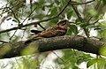Large tailed nightjar -David Raju.jpg
