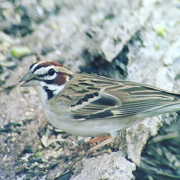 File:Lark Sparrow.jpg