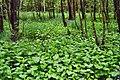 Las z czermienią błotną - panoramio.jpg