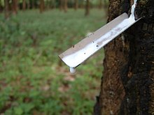 Latex being collected from a tapped rubber tree.jpg
