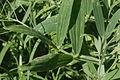Lathyrus heterophyllus (Platterbse) IMG 28665.JPG