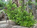 Laurel joven, arbusto Laurus nobilis.jpg