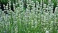 Lavender the Misato Sekka.jpg