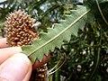 Leaf of Banksia hookeriana.jpg