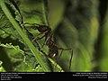 Leafcutter forager (Atta texana) (25592934232).jpg