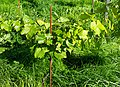 Leaves and grapes in Chateaux Luna vineyard 3.jpg
