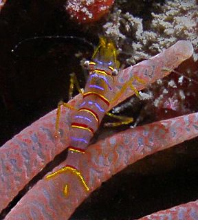 <i>Lebbeus</i> genus of crustaceans