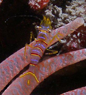 Urticina columbiana - The candy stripe shrimp (Lebbeus grandimanus), a symbiont of Urticina columbiana
