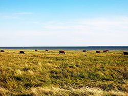 Lehmad Sõru külas Hiiumaal.JPG