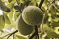 Lemon farm in Zanzibar.jpg