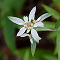 Leontopodium japonicum 02.jpg