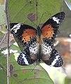 Leopard Lacewing Cethosia cyane mating Kaziranga by Dr. Raju Kasambe DSCN5088 (3).jpg