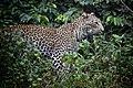 Leopard in Shimba Hills 2.jpg