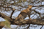 Leopard standing in tree.jpg