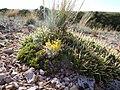 Lesquerella alpina (7275597598).jpg