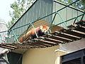 Lesser panda.jpg