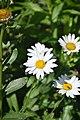 Leucanthemum × superbum Brightside in Jardin botanique de la Charme 01.jpg