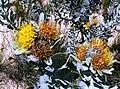 Leucospermum rodolentum Rebelo 3.jpg