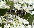 Leucozona laternaria (female) - Flickr - S. Rae (3).jpg