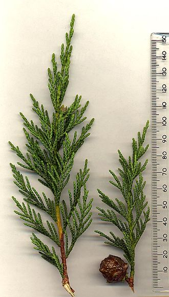Leyland cypress - Leyland cypress foliage and cone