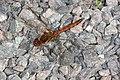 Libeller (Libellulidae) (4913903526).jpg