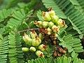 Libidibia coriaria - Divi-divi Tree - Caesalpinia coriaria - WikiSangamotsavam 2018, Kottappuram, Kodungalloor (12).jpg