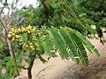 Libidibia coriaria - Divi-divi Tree - Caesalpinia coriaria - WikiSangamotsavam 2018, Kottappuram, Kodungalloor (3).jpg