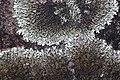 Lichen (14363147805).jpg