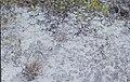 Lichen on unlithified sand. North Head. (24005320957).jpg
