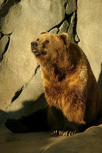 Kodiak bear - Kodiak bear