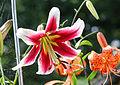 Lilie (Lilium) (15303329877).jpg