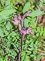 Limodorum abortivum in Lozere (4).jpg