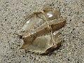 Limulus polyphemus (Limulidae) - (exuviae), Cape Cod (MA), United States.jpg